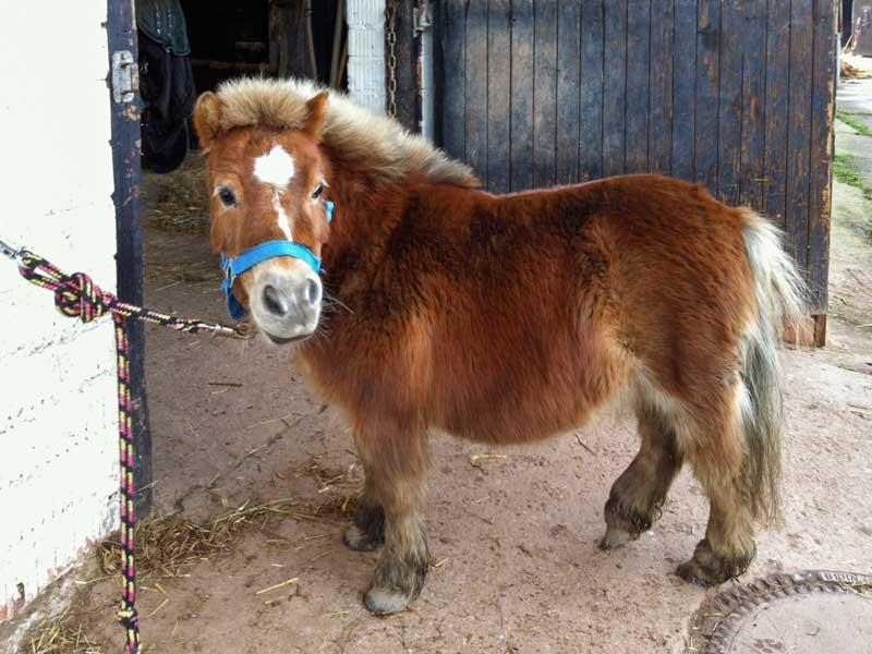Pferd Emma (Shetlandpony) / © 2014 Arche KaNaum (D.N.)